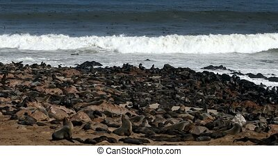 brown seal colony in Cape Cross, Africa, Namibia wildlife -...