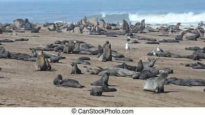 brown seal in Cape Cross, Namibia - brown fur seal in Cape...