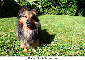 Brown Sheltie - Brown Shetland Sheepdog ( Sheltie ) with red...