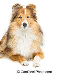 Brown sheltie dog