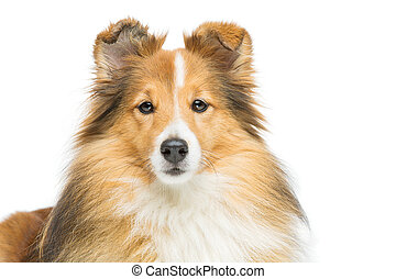 Brown sheltie dog - Beautiful brown sheltie dog isolated ...