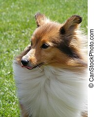 Brown sheltie showing tongue