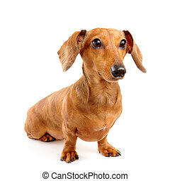 brown short hair dachshund dog