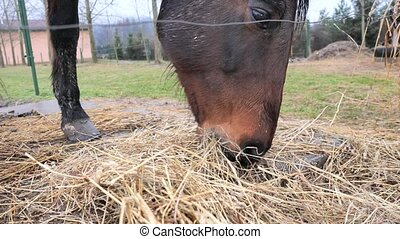 Brown shy hot blood horse eats dry hay in paddock with concrete place for feeding.