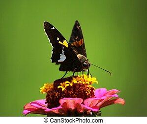 Brown Skipper Butterfly Pink Zinnia