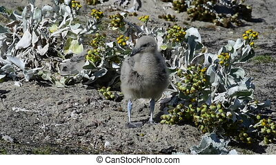 Brown Skua chick in grass - Antarctic or brown skua chick in...
