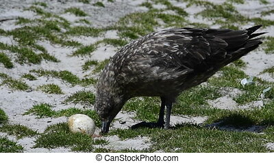 Brown Skua with egg - Antarctic or brown skua who eats eggs...