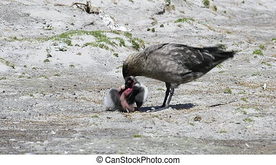 Brown Skua with penguin - Antarctic or brown skua eating...