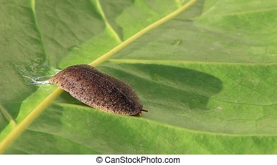 brown slug crawling accros green leaf