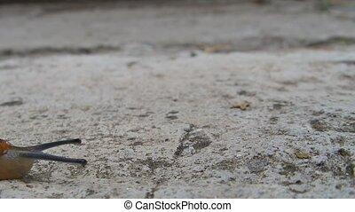 Brown slug - A brown slug