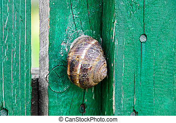 Brown Snail shell on the green wood fence, close up