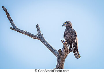 Brown snake eagle sitting on a branch.