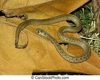 Brown Snake (Storeria dekayi) at Kickapoo State Park in...