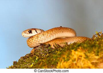 Brown Snake (Storeria dekayi)