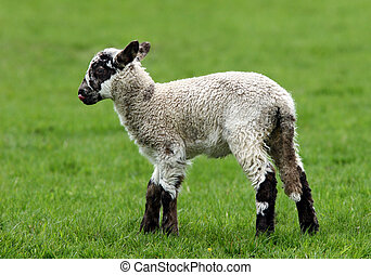 Brown Speckled Lamb