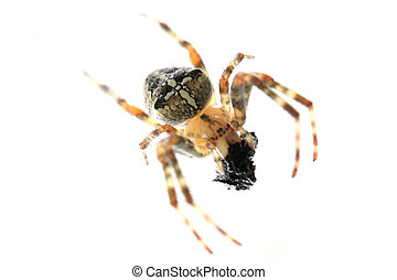 brown spider isolated