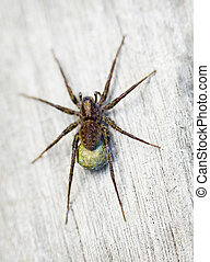 Brown spider - Lycosidae