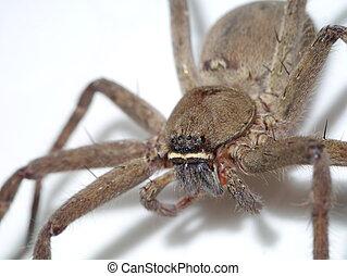 Brown spider.