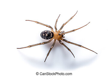 Brown spider with shadow on white background