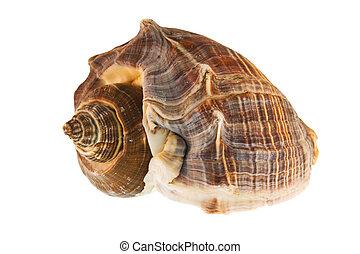 brown spiral seashell