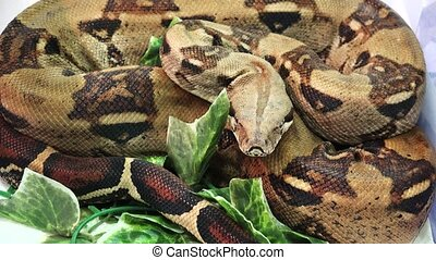 Brown spotted snake. 4K. - Brown spotted snake. Shot in 4K...