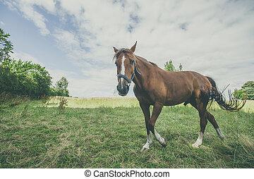 Brown stallion walking on a rural field