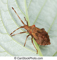 Brown stink bug sitting on a leaf - Brown stink bug sitting...
