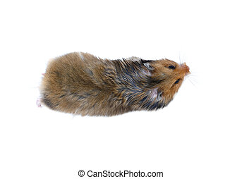Brown Syrian hamster isolated view from above