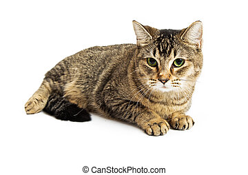 Brown Tabby Cat Lying Down Over White