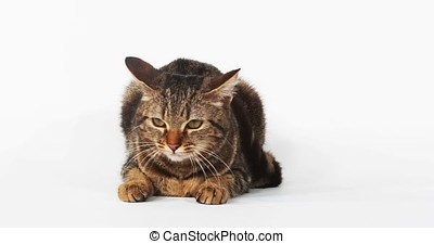 Brown Tabby Domestic Cat Meowing on White Background, Real...
