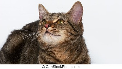 Brown Tabby Domestic Cat on White Background, Real Time 4K