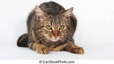 Brown Tabby Domestic Cat on White Background, Real Time