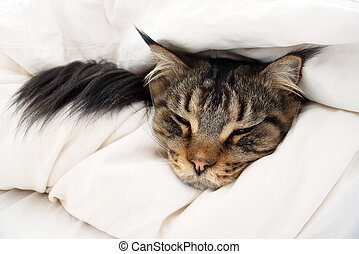 Brown Tabby Maine Coon Cat hiding in Duvet