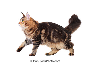 Brown Tabby Maine Coon over white - Brown Tabby Maine Coon...