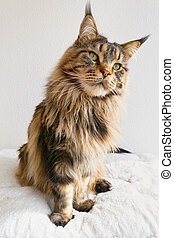 Brown tabby Maine Coon sitting on White Cat Bed