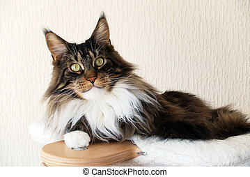 Brown tabby with white Maine Coon cat on top of cat tree