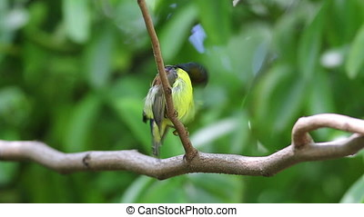Brown-throated sunbird Anthreptes malacensis Beautiful Male...