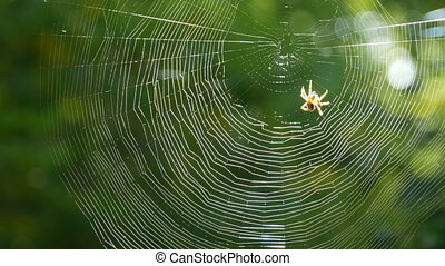 Brown tiger-colored crusader spider weaves a web with its ...