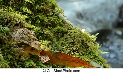 Brown toad resting - A brown toad resting on a green moss in...