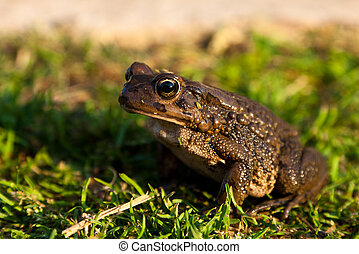 Brown toad sitting on the grass