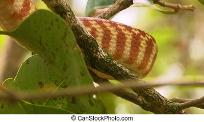 Brown Tree Snake Body - Steady, close up shot of a brown...