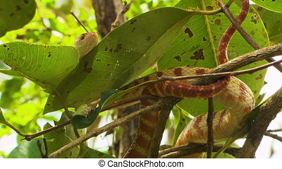 Brown Tree Snake Coiled Around Branches - Steady, low angle,...
