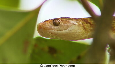 Brown Tree Snake Head And Eyes - Steady, extreme close up...