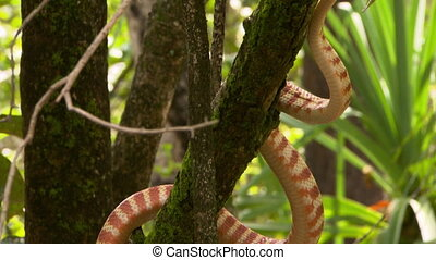 Brown Tree Snake Stretched Out On Branch - Handheld,...