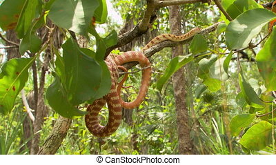 Brown tree snake wrapped around a tree branch - Wide shot of...