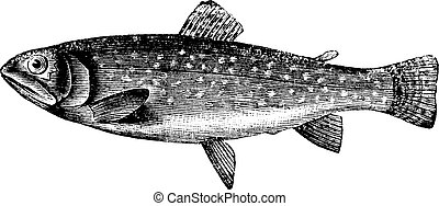 Brown Trout or Salmo trutta, vintage engraving - Brown Trout...