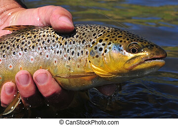 This beautiful brown trout was caught by fly fishing and was released