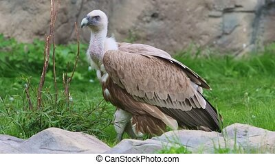 Brown vulture standing on the grass in the nature reserve. Mid shot