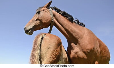 brown warmblood horse mare suckling her foal