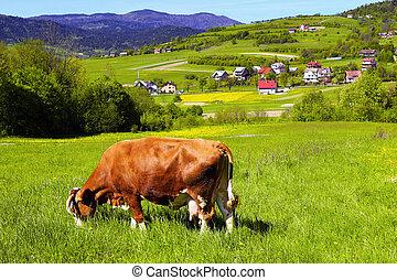 Brown white cow on a farmland